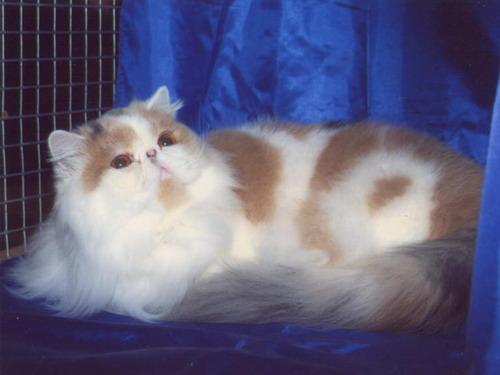 Персидская кошка переглядів 332 додав
